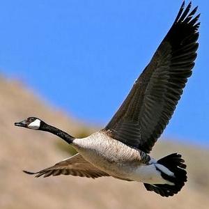 不过,大雁是国家二级保护动物,建议尽量少吃,减少杀戮.