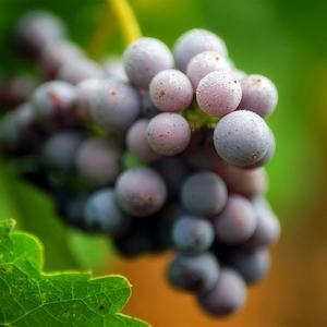 开胃助消化.葡萄中有较多的酒石酸,食用后可增强食欲,健脾护胃.