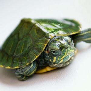 乌龟是肉食性的动物,喜欢吃虫子,螺和小鱼小虾.